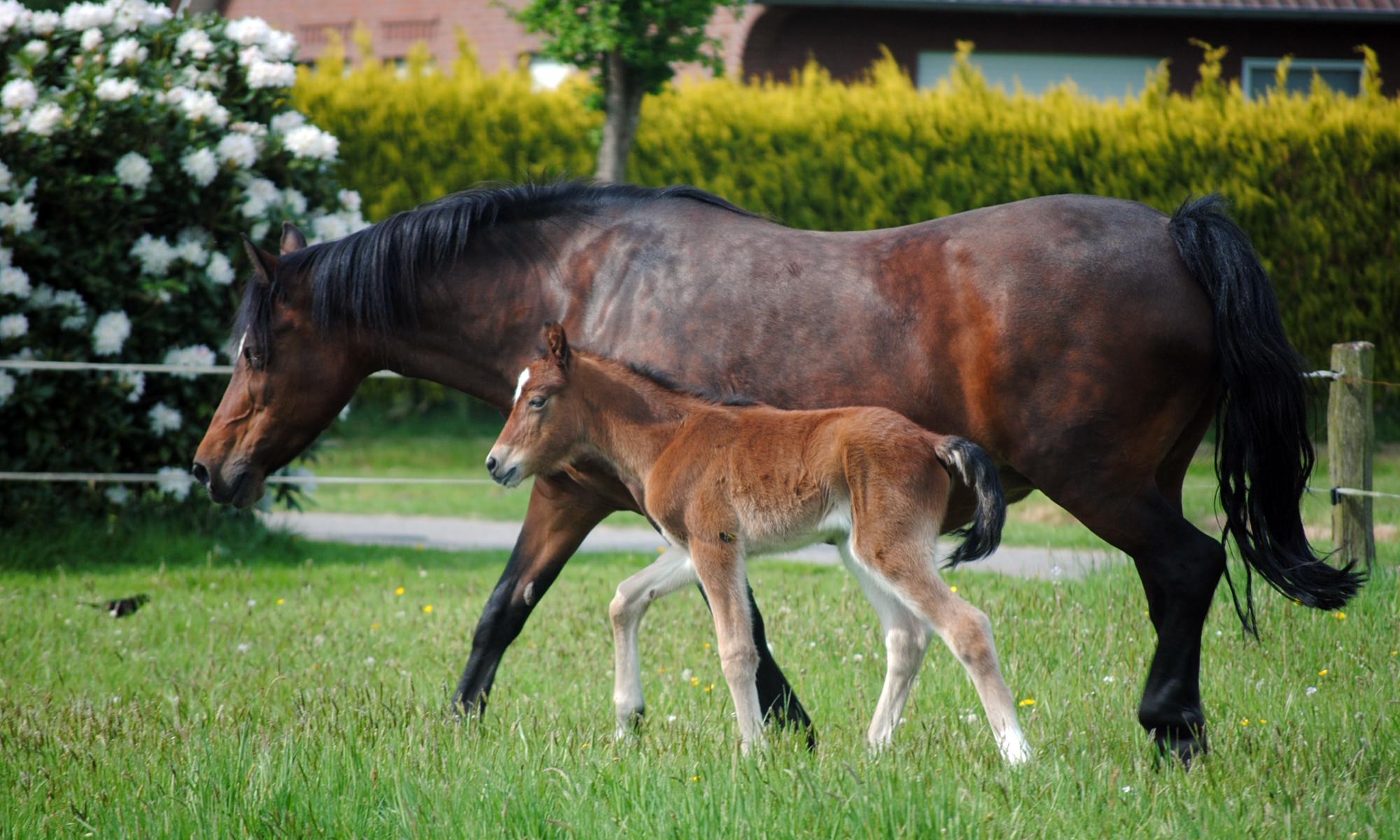 Nordstern Ponys